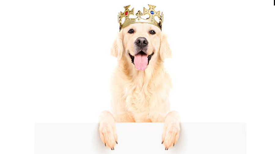 Piano Salute Adult Dog King